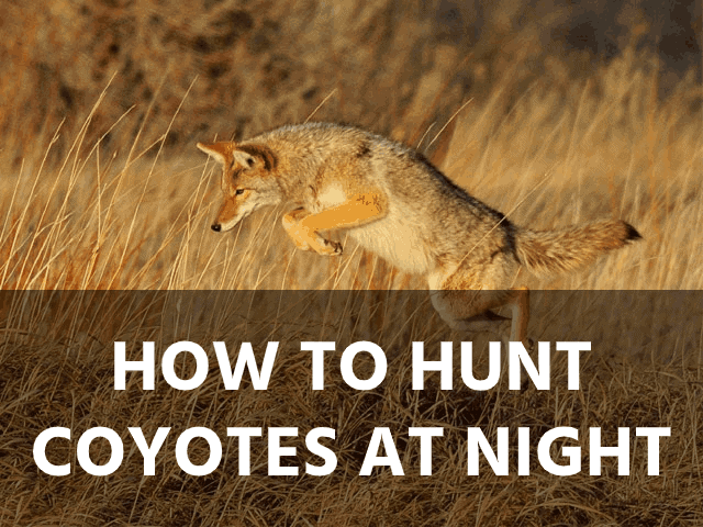 How to Hunt Coyotes at Night