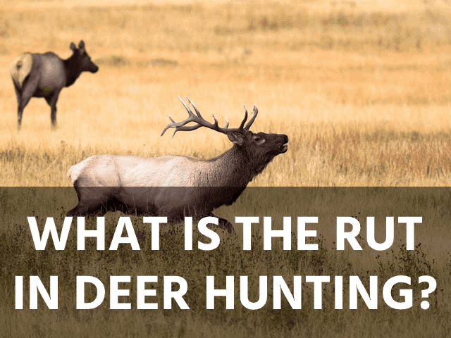 What Is the Rut in Deer Hunting?